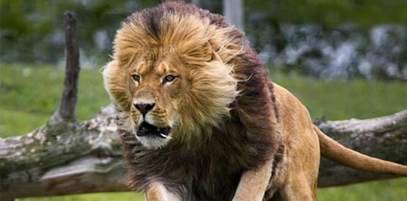 !!!!VIDEO!!!! León de circo de Ucrania ataca a su domador en función en Mexico
