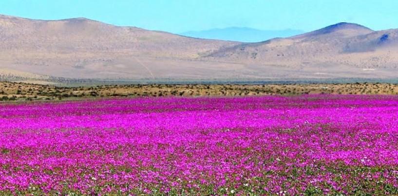 El desierto de Atacama se viste de rosa