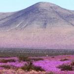 elnino-desiertodeatacama-flores-elpunto-noticias